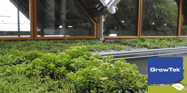 Grønne sedum planter
